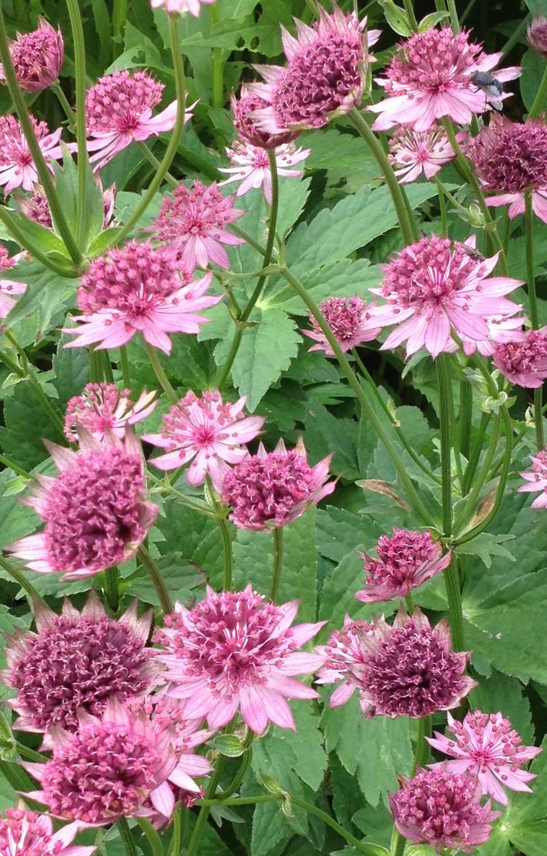 Perennials for your Cutting Garden - Astrantia