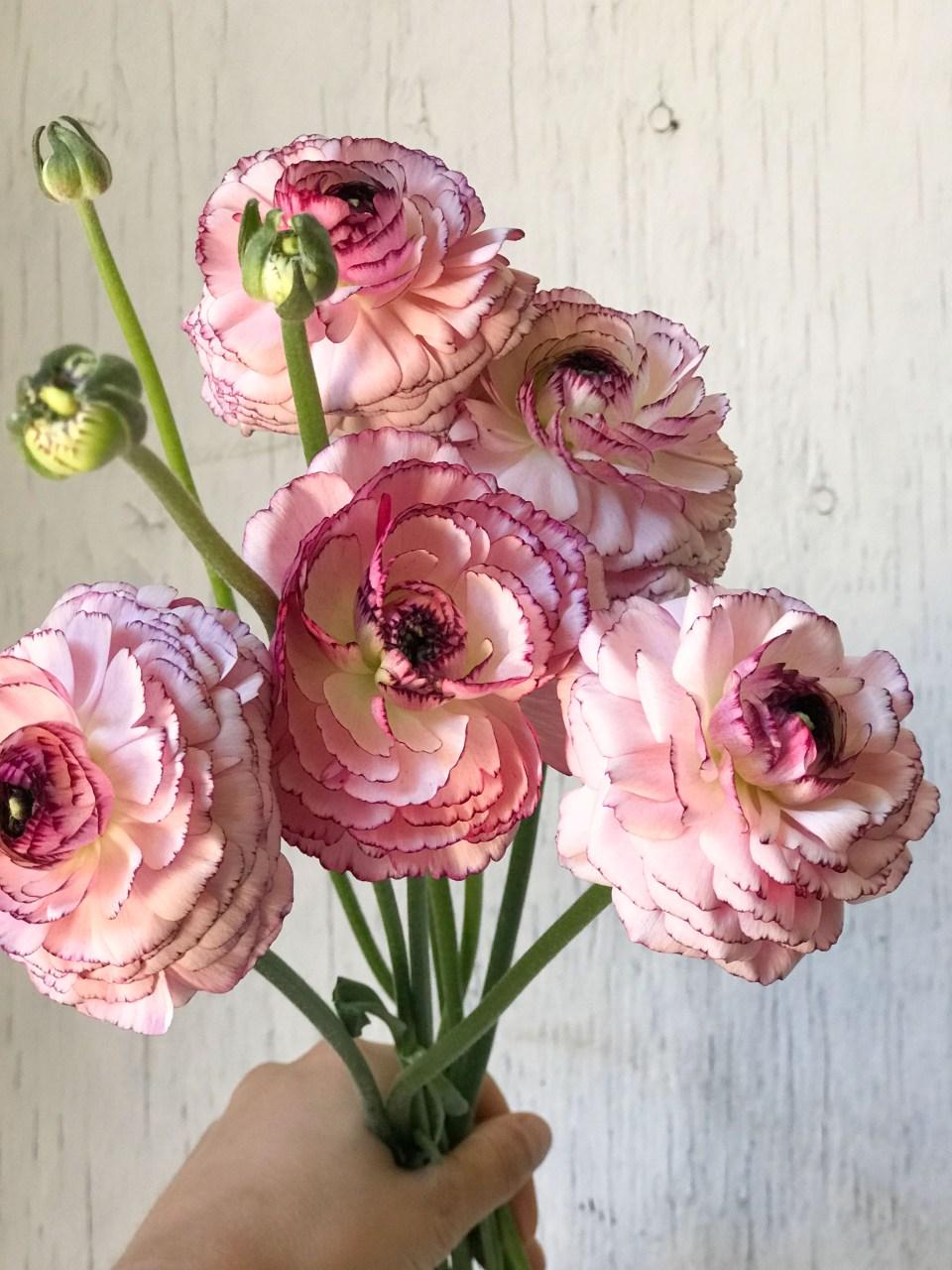 Beautiful Two Tone Ranunculus