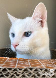 white cat in scratcher