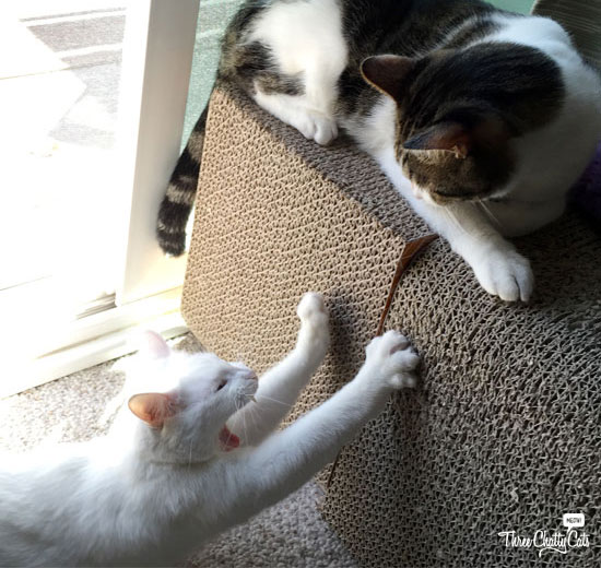 white cat and tabby cat