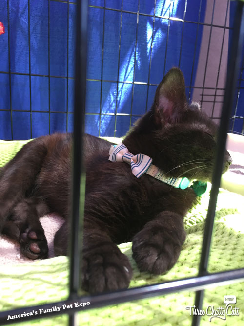 a black cat waiting to be adopted
