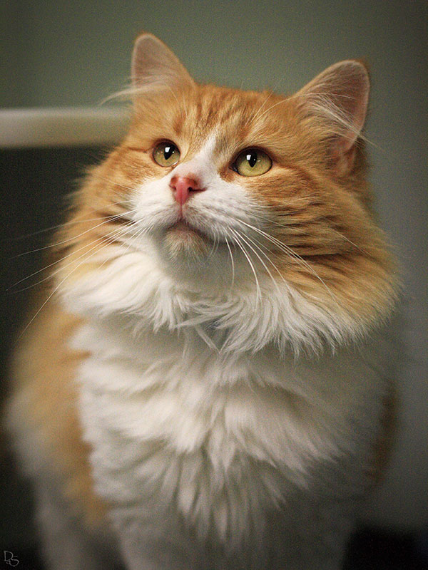 long haired orange and white cat