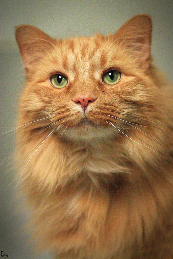 long haired orange cat