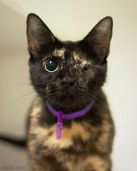 tortie cat with one eye