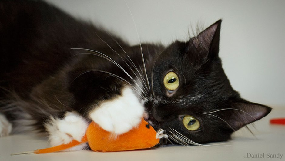 black and white cat with mouse toy