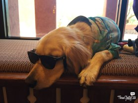 golden retriever with sunglasses