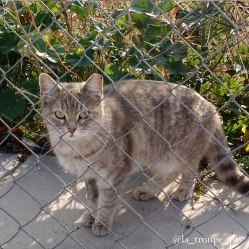 diluted tabby cat