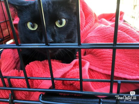 black cat ready for adoption