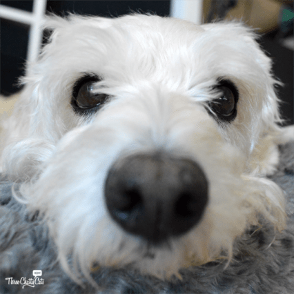 terrier