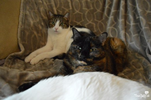 tabby cat and tortie cat
