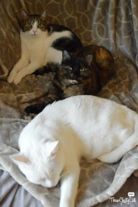 tabby cat, tortie cat, white cat