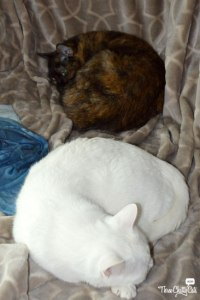 tortie cat and white cat