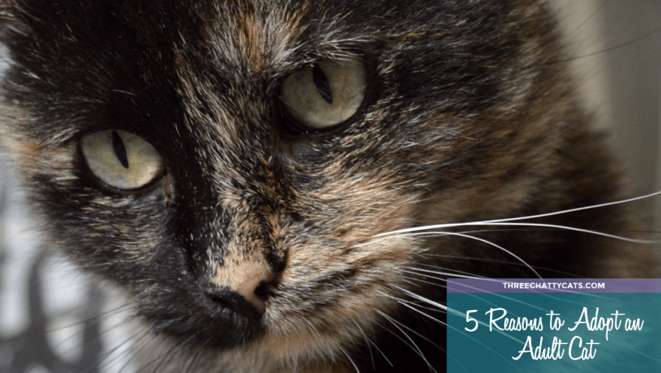 5 Reasons to Adopt an Adult Cat