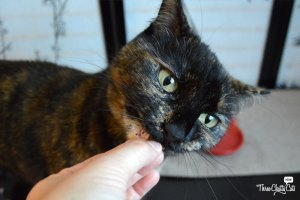 tortie cat eating treat