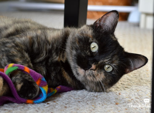 tortie cat playing