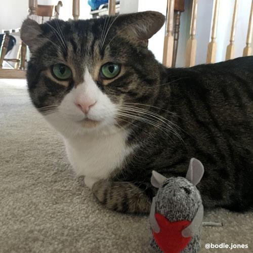 Bodie Jones, tabby cat