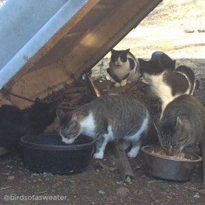 cats feeding in colony