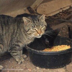 tabby cat in cat colony