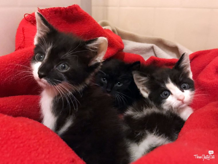 three black and white kittens