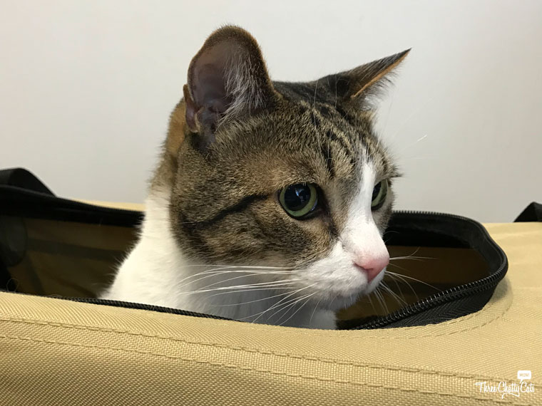 tabby cat in carrier