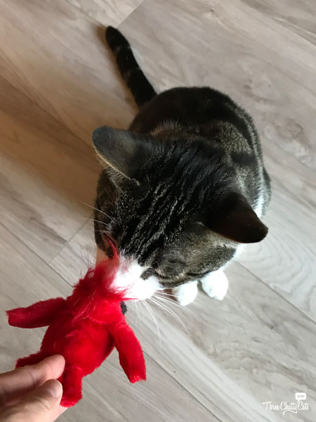 tabby cat with toy