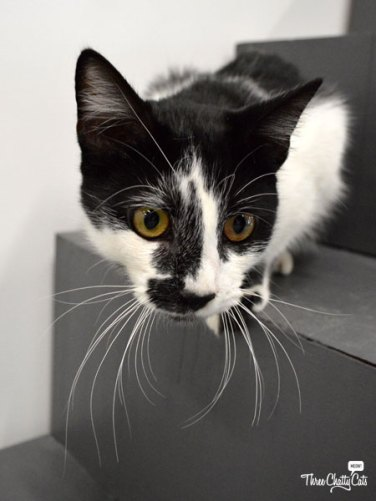 black and white cat at CatCafe Lounge