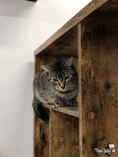 tabby cat at CatCafe Lounge