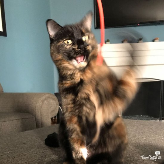 tortie cat playing with toy