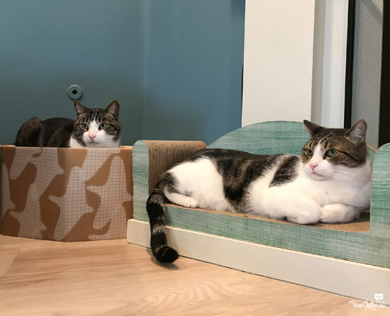 two gray and white tabby cats