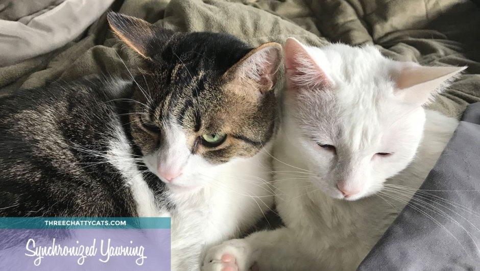 gray tabby cat and white cat cuddling