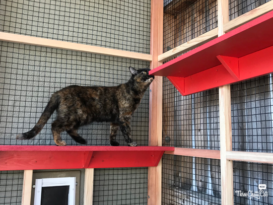 tortie cat in catio