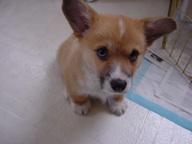 corgi-puppy-351