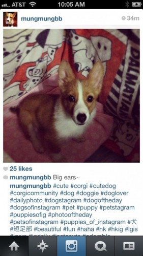 Corgi of Three Corgis