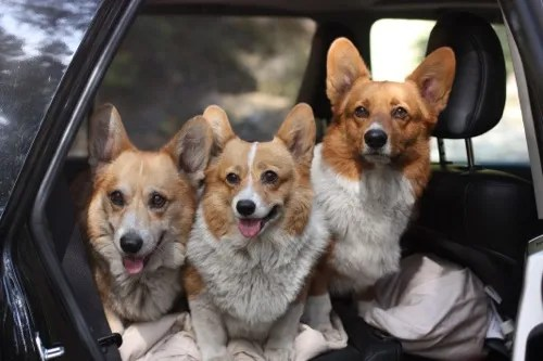 Corgis in the Wild