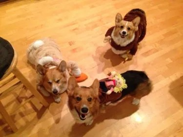 Corgis in Costumes