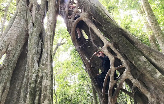 Stephen and Sam climbing the ficus tree from the inside