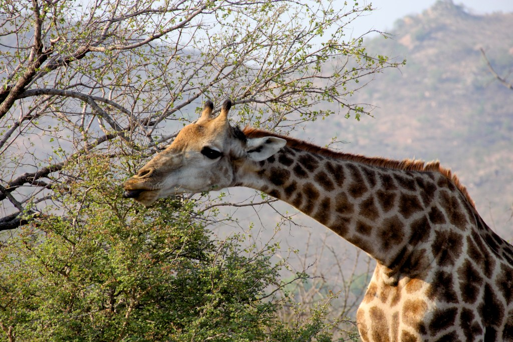 A Giraffe in Kruger on Safari