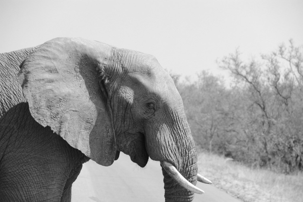 Elephant in Kruger on Safari