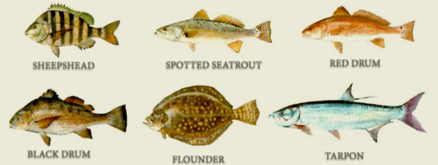 Inshore-Species-of-Fish