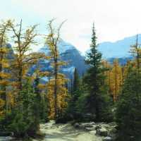 Larch Trees Are An Evergreen that don't stay green. Here is Why They Turn That Fabulous Golden Yellow.