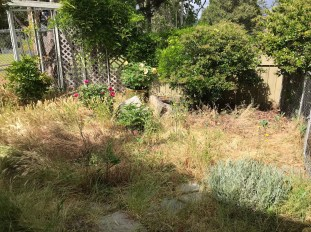 Post vacation weeds and overgrown shrubs