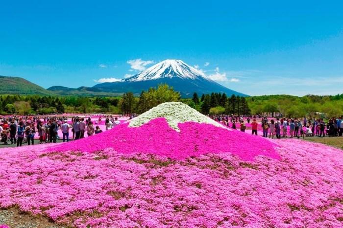 【富士山芝櫻祭】日本最大規模花祭,白皚富士山景與粉紅花海同框畫面!
