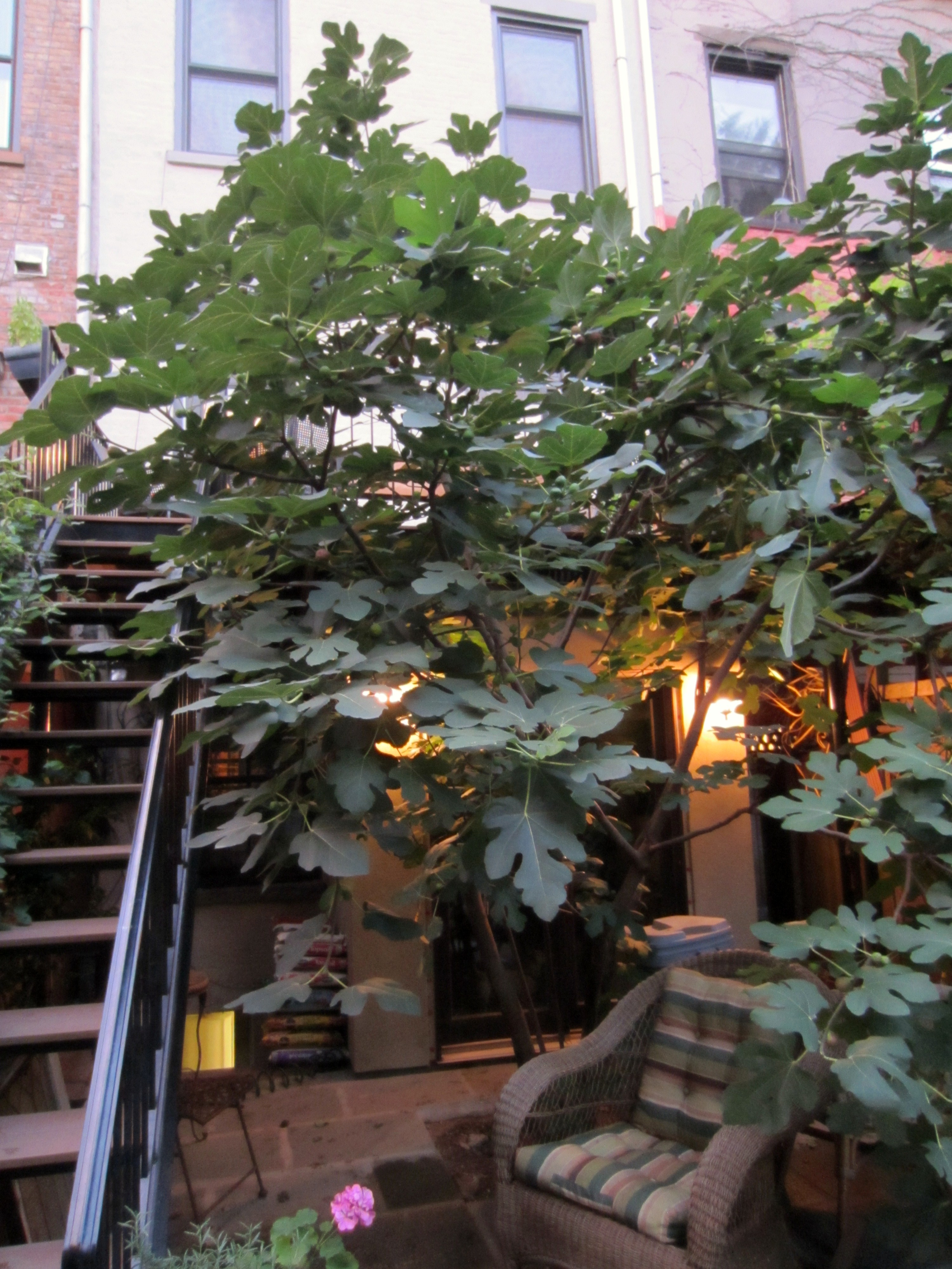 the little fig tree that could three