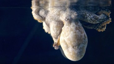 Watch A Sleeping Octopus Changes Color While Dreaming