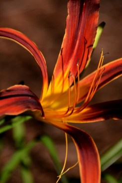 Day Lilly bloom Photo by Mike Hartley
