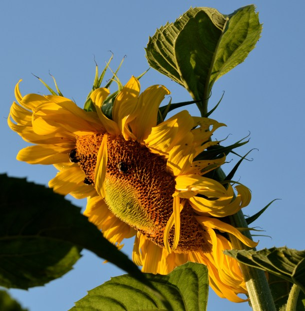 Bee's on sunflower. Photo by Mike Hartley