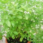 Large basil plant
