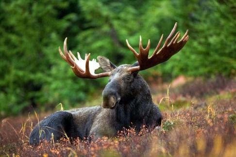 moose-70254_1920
