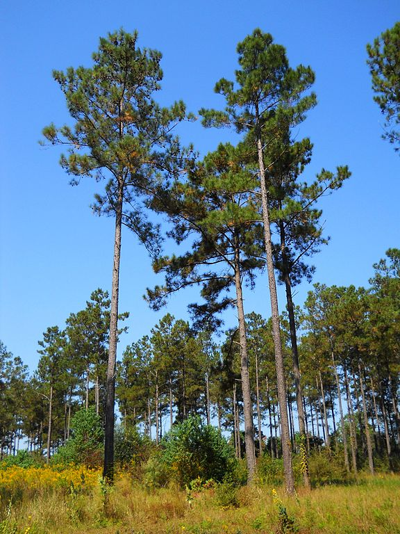 Loblolly Pines