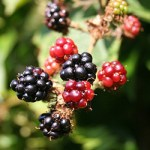 blackberry forraging forrage for free food in the wild pick free food foraging forage find edible